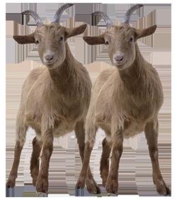 2Las cabras-250
