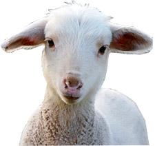 lambface